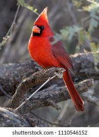 Northern Cardinal Arizona