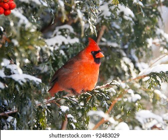 Northern Cardinal bird, male, perched on a cedar hedge in the snow with sparkling bokeh, and red berries.