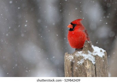 ce5d5779 Winter Cardinal Images, Stock Photos & Vectors | Shutterstock