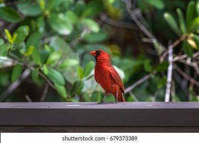 Northern Cardinal (Cardinalis cardinalis),