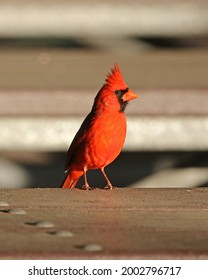 Northern Cardinal (Cardinalis cardinalis) bird