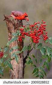 Northern Cardinal (Cardinalis cardinalis) eating berries from ornamental garden plant.