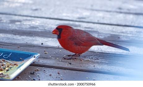 Northern cardinal (Cardinalis cardinalis) eating bird seed from a plate on a porch in Panama City, Florida, USA