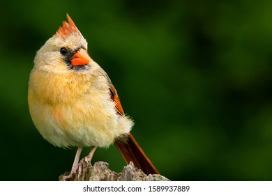 Northern Cardinal, Cardinalis cardinalis. Female with a raised crest, perched on a tree stump and making eye contact. Background is bokeh of trees.