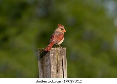 Northern Cardinal (Cardinalis cardinalis), female  sitting on a fence
