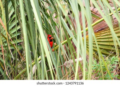 Northern Cardinal (Cardinalis cardinalis) hides amongst palmetto fronds in the Everglades National Park of Florida