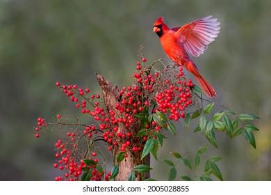 Northern Cardinal (Cardinalis cardinalis) landing