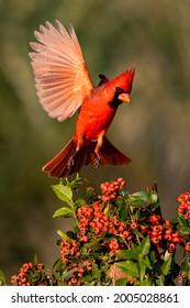 Northern Cardinal (Cardinalis cardinalis) landing by Pyrocantha bush
