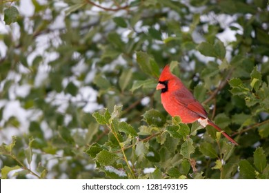 Northern Cardinal (Cardinalis cardinalis) male in American holly tree in winter, Marion, Illinois, USA.