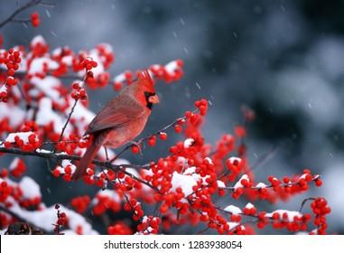 Northern Cardinal (Cardinalis cardinalis) male in Common Winterberry (Ilex verticillata) in winter Marion County, Illinois