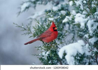 Northern Cardinal (Cardinalis cardinalis) male in Juniper tree in winter Marion County, Illinois