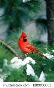 Northern Cardinal (Cardinalis cardinalis) male in Pine tree in winter Marion County, Illinois