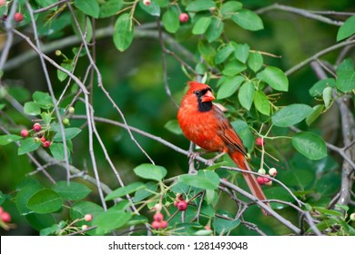 Northern Cardinal (Cardinalis cardinalis) male in Serviceberry Bush (Amelanchier canadensis), Marion, Illinois, USA.