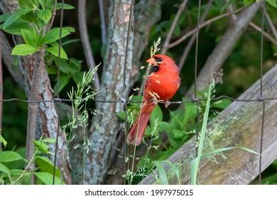 The northern cardinal (Cardinalis cardinalis) , male  sitting on a fence