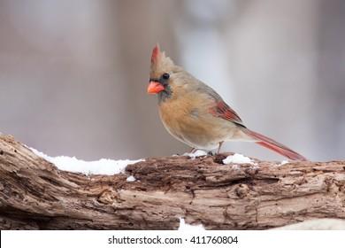 Northern Cardinal (Cardinalis cardinalis) on a Natural Rotted Wood Perch