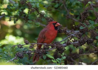 Northern Cardinal (Cardinalis Cardinalis) On A Tree, Eating Seeds, Tavernier, Key Largo, Florida