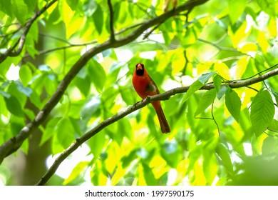 The northern cardinal (Cardinalis cardinalis) perched on a tree branch