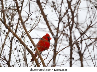 Northern Cardinal (Cardinalis cardinalis) perched in tree on day of snow and ice.  No leaves on tree and cold gray sky.