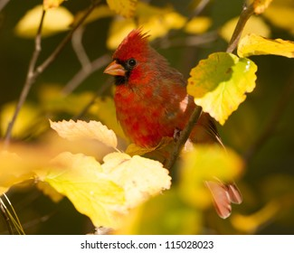 Northern Cardinal (Cardinalis cardinalis) perched in a Witch Hazel Shrub in Autumn - Ontario, Canada