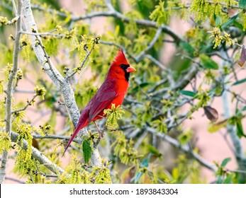 Northern cardinal, Cardinalis cardinalis, sitting in the bush, Florida, USA