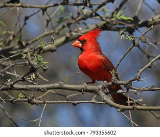 A Northern Cardinal (Cardinalis cardinalis) sitting in a tree.  Shot along the Santa Cruz river, just outside Tubac, Arizona.