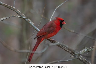 Northern Cardinal closeup in the forest