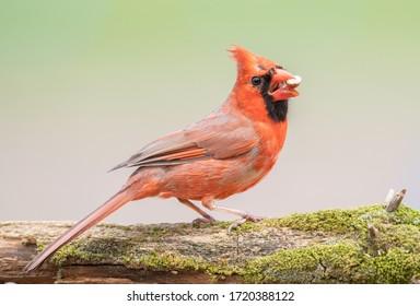 Northern cardinal eating a peanut.
