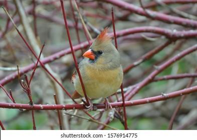 Northern Cardinal female bird  close up
