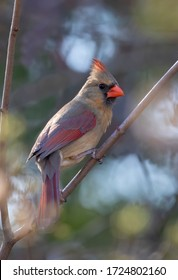 Northern Cardinal female (Cardinalis cardinalis) perched on a branch on a spring evening in Ottawa, Canada