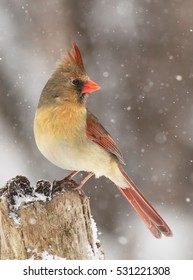 Northern Cardinal female in snow storm