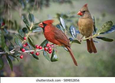 Northern Cardinal Male and Female on Holly Branch
