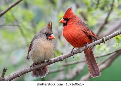 Northern Cardinal Male and Female Perched on Branch in Early Spring in Louisiana in St. Landry Parish