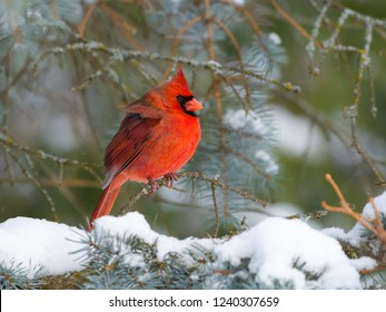 Northern Cardinal Male Perched on Blue Spruce  in Winter