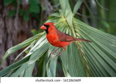 Northern cardinal male perched on a palm tree in Florida