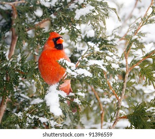 Northern Cardinal, male,  perched on a cedar hedge in the snow on Christmas eve day.