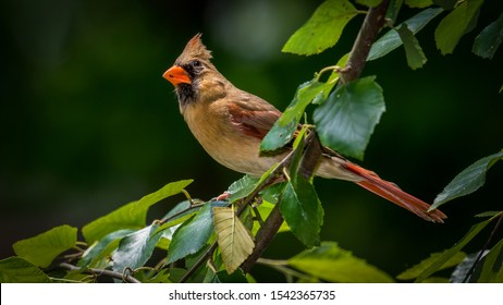 Northern Cardinal Male perched in a tree during a sunny Ohio afternoon