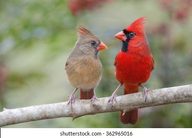 Northern Cardinal Mates Facing Each Other