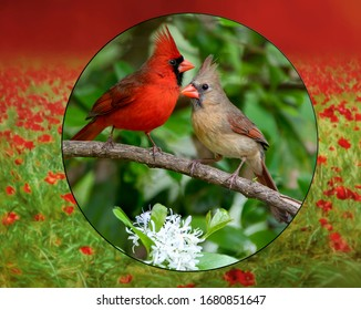 Northern Cardinal Mates on Branch of Blooming Fringe Tree Surrounded by Red and Green Flowering Field Border