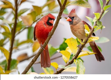 Northern Cardinal Mates Perched in Colorful Chinese Fringe Tree On Overcast Day in Louisiana in December