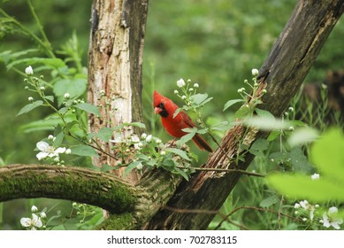 Northern Cardinal on with Green Branches Pine