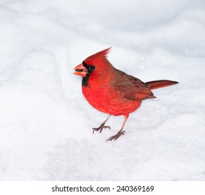 Northern Cardinal on Snow in Winter