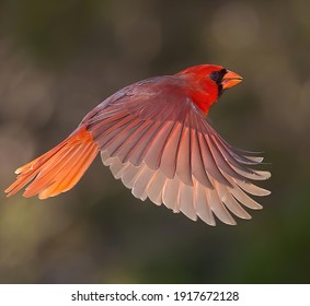 Northern Cardinal on the wing