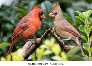 Northern Cardinal Pair Facing Each Other as They Perch on Branches in Chinese Fringe Tree in Louisiana in Late October