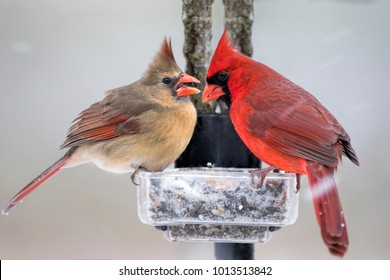 Northern Cardinal Pair on Icy Feeder