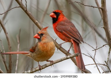 Northern Cardinal Pair Perched on Bare Branches in Louisiana