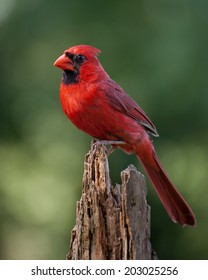 A northern cardinal perched in early morning.