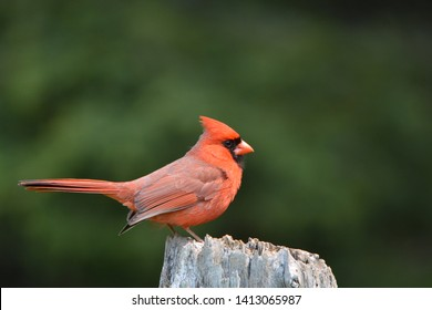 Northern Cardinal perched on a fence post