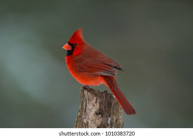Northern cardinal perched on a small tree stump in winter