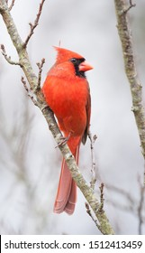 A northern cardinal perched in a plum tree.