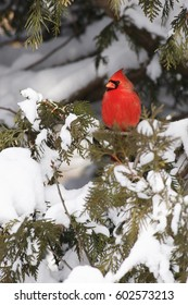 A northern Cardinal perched in a snowy setting